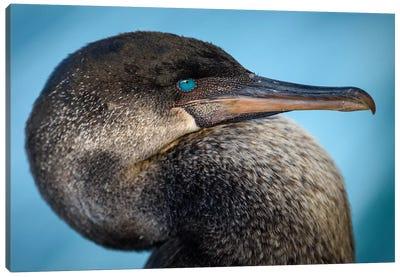 Ecuador, Galapagos, Genovesa Island, Flightless Cormorant Portrait. Canvas Art Print