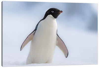 Antarctic Peninsula, Half Moon Island. Adelie Penguin With Wings Out. Canvas Art Print