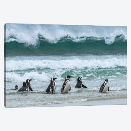 Falkland Islands, Saunders Island. Magellanic Penguins Emerge From The Sea. Canvas Print #YCH130} by Yuri Choufour Canvas Art Print
