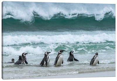 Falkland Islands, Saunders Island. Magellanic Penguins Emerge From The Sea. Canvas Art Print