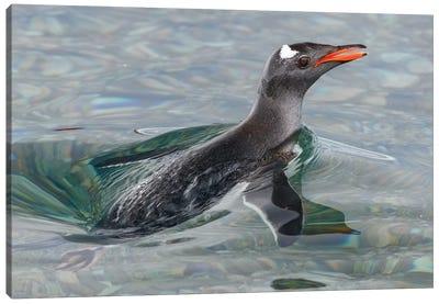 Antarctic, Antarctic Peninsula, Neko Harbour. Gentoo Penguin Surfacing. Canvas Art Print