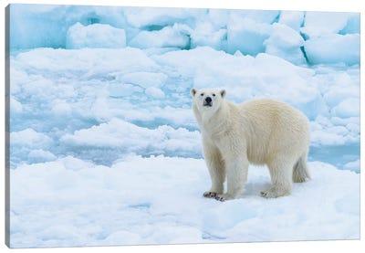 Norway, Svalbard. Sea Ice Edge, 82 Degrees North, Polar Bear Casting Curious Look. Canvas Art Print