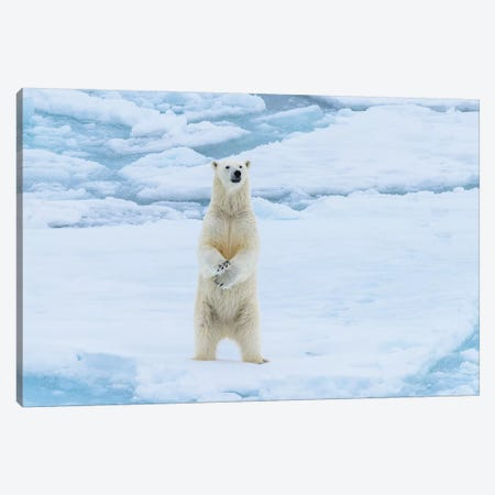 Norway, Svalbard. Sea Ice Edge, 82 Degrees North, Polar Bear Stands Up. Canvas Print #YCH149} by Yuri Choufour Canvas Art