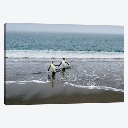 Salisbury Plain, South Georgia Island. King Penguins Arriving From The Sea. Canvas Print #YCH151} by Yuri Choufour Art Print