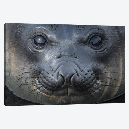 South Georgia Island, Gold Harbour. Elephant Seal Pup. Canvas Print #YCH154} by Yuri Choufour Canvas Artwork