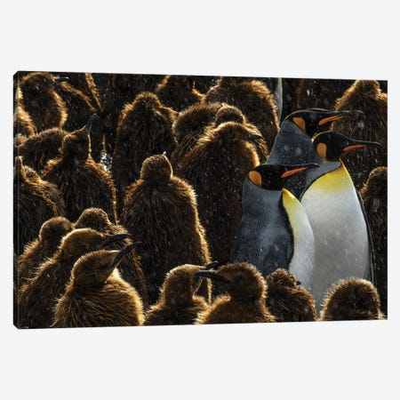 South Georgia Island, Gold Harbour. King Penguin Colony. Canvas Print #YCH157} by Yuri Choufour Canvas Art