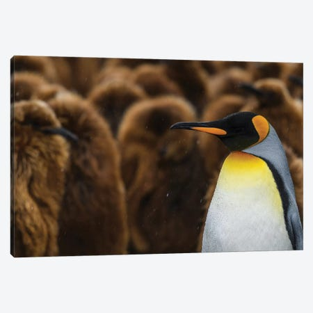 South Georgia Island, Gold Harbour. King Penguin Colony. Canvas Print #YCH158} by Yuri Choufour Canvas Art Print
