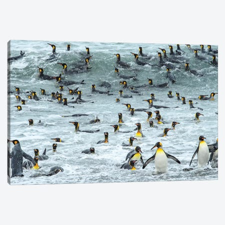 South Georgia Island, King Penguins Surf And Bath At Waters Edge. Canvas Print #YCH160} by Yuri Choufour Canvas Art