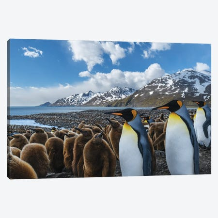 South Georgia Island, St. Andrews Bay. King Penguin Colony. Canvas Print #YCH162} by Yuri Choufour Canvas Artwork
