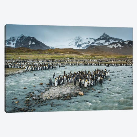 South Georgia Island, St. Andrews Bay. King Penguins And Glacial Meltwater Stream. Canvas Print #YCH163} by Yuri Choufour Canvas Wall Art