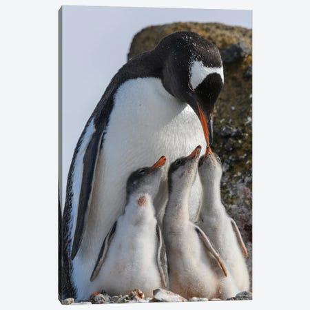 Antarctica, Antarctic Peninsula, Brown Bluff. Gentoo Penguin Feeding Three Chicks. 3-Piece Canvas #YCH16} by Yuri Choufour Canvas Artwork