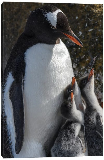 Antarctica, Antarctic Peninsula, Brown Bluff. Gentoo Penguin With Three Chicks. Canvas Art Print