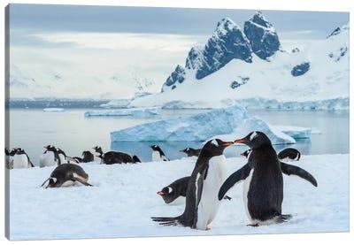 Antarctica, Antarctic Peninsula, Danco Island. Gentoo Penguin Courtship. Canvas Art Print