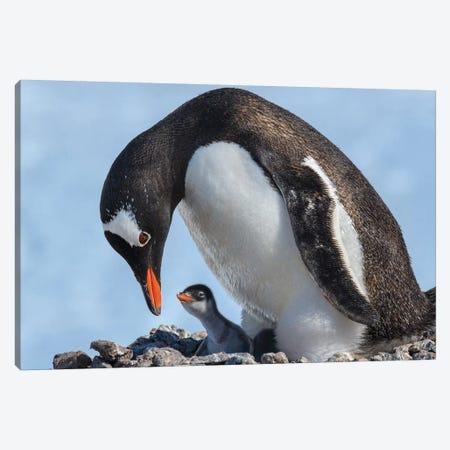Antarctica, Antarctic Peninsula, Jougla Point. Gentoo Penguin And Chick. 3-Piece Canvas #YCH23} by Yuri Choufour Canvas Artwork
