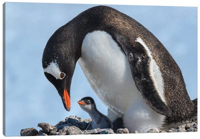 Antarctica, Antarctic Peninsula, Jougla Point. Gentoo Penguin And Chick. Canvas Art Print
