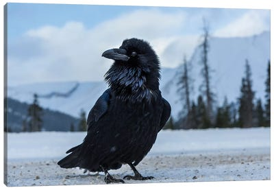 Canada, Alberta, Icefields Parkway. Common Raven At Roadside. Canvas Art Print