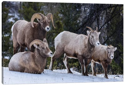 Canada, Alberta, Jasper. Bighorn Sheep Family. Canvas Art Print