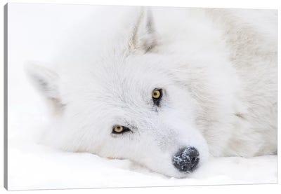 Canada, Alberta, Yamnuska Wolfdog Sanctuary. White Wolfdog Portrait. Canvas Art Print