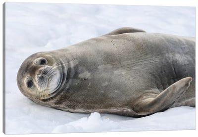 Antarctic Peninsula, Antarctica, Half Moon Island. Weddell Seal Resting. Canvas Art Print