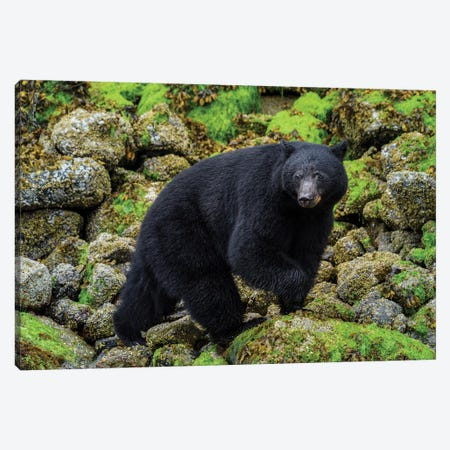 Canada, British Columbia, Clayoquot Sound. Black Bear Foraging In Intertidal Zone. Canvas Print #YCH53} by Yuri Choufour Canvas Print