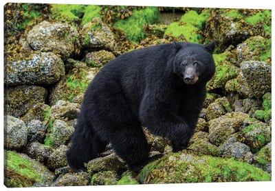 Canada, British Columbia, Clayoquot Sound. Black Bear Foraging In Intertidal Zone. Canvas Art Print