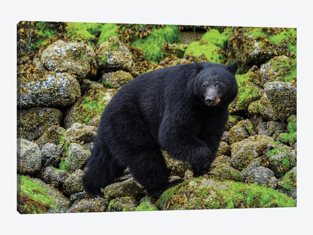 Canada, British Columbia, Clayoquot Sound. Black Bear Foraging In Intertidal Zone. by Yuri Choufour 1-piece Art Print
