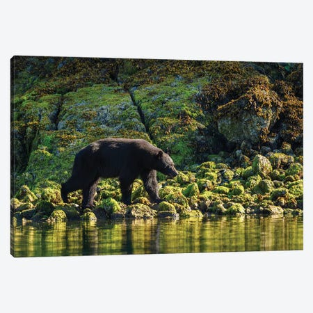 Canada, British Columbia, Clayoquot Sound. Black Bear Foraging In Intertidal Zone. Canvas Print #YCH54} by Yuri Choufour Canvas Artwork