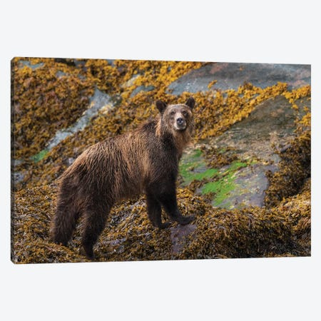 Canada, British Columbia, Knight Inlet. Grizzly Bear In The Intertidal Zone. Canvas Print #YCH59} by Yuri Choufour Art Print