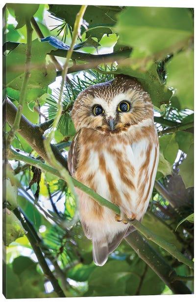 Canada, British Columbia, Reifel Migratory Bird Sanctuary. Northern Saw-Whet Owl Perched In Holly Bush. Canvas Art Print