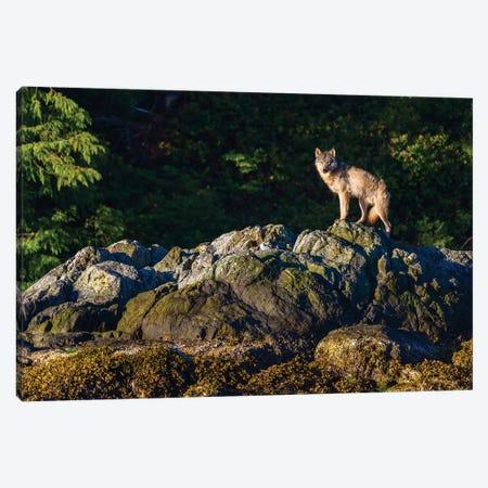Canada, British Columbia, Tofino. Coastal Wolf In The Intertidal Zone. Canvas Print #YCH64} by Yuri Choufour Canvas Art Print