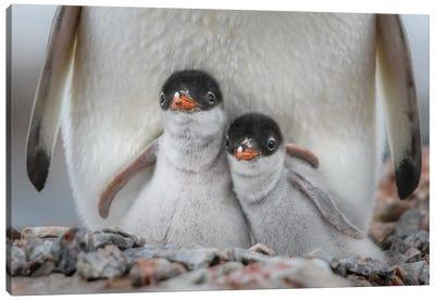 Antarctic Peninsula, Antarctica, Jougla Point. Gentoo Penguin Chicks. Canvas Art Print