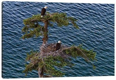 Canada, British Columbia. Bald Eagles Nest Above The Ocean. Canvas Art Print
