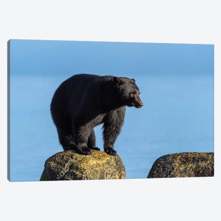 Canada, British Columbia. Black Bear At Edge Of Estuary. Canvas Print #YCH72} by Yuri Choufour Canvas Print
