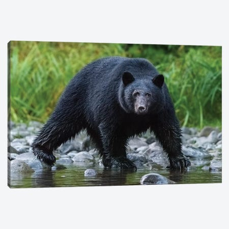 Canada, British Columbia. Black Bear Searches For Fish At Rivers Edge. Canvas Print #YCH73} by Yuri Choufour Art Print