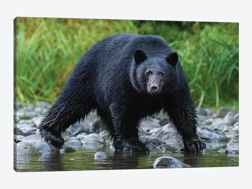 Canada, British Columbia. Black Bear Searches For Fish At Rivers Edge. by Yuri Choufour 1-piece Art Print
