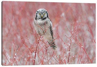 Canada, British Columbia. Northern Hawk Owl Perched On Blueberry Bush. Canvas Art Print