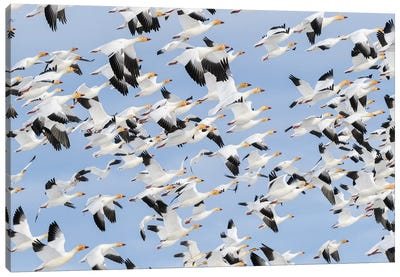Canada, British Columbia. Reifel Bird Sanctuary, Snow Geese Flock In Flight. Canvas Art Print