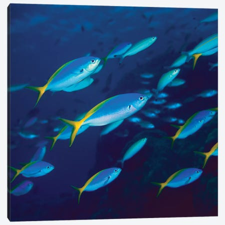 Yellow And Blueback Fusilier School Canvas Print #YOJ1} by Yoji Okata Canvas Print