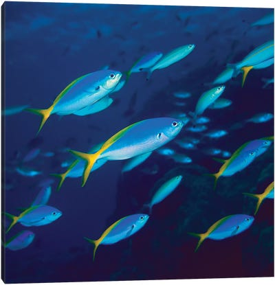 Yellow And Blueback Fusilier School Canvas Art Print