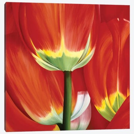 Most Beautiful Tulip I Canvas Print #YPH33} by Yvonne Poelstra-Holzhaus Canvas Art