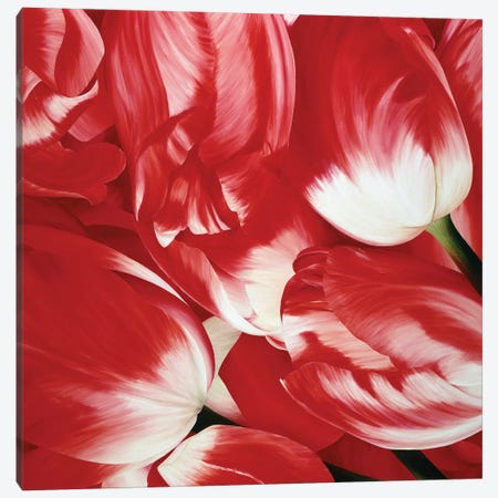 Most Beautiful Tulip III Canvas Print #YPH35} by Yvonne Poelstra-Holzhaus Canvas Art Print