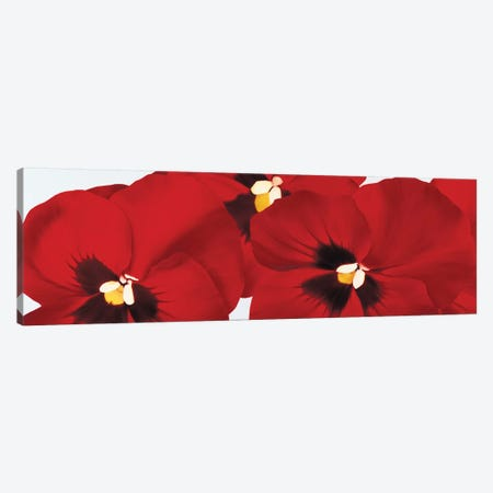 Red I (Pansies) Canvas Print #YPH50} by Yvonne Poelstra-Holzhaus Canvas Art