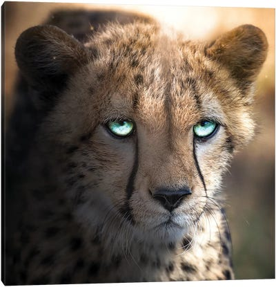 The Blue Eyed Cheetah Canvas Art Print