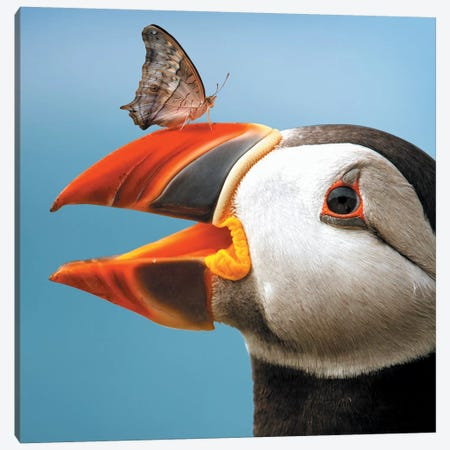 Atlantic Puffin Butterfly Canvas Print #ZGA2} by Zenja Gammer Canvas Artwork