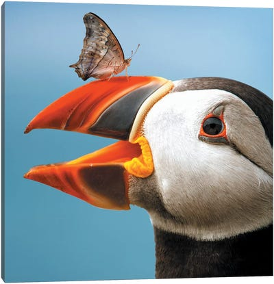 Atlantic Puffin Butterfly Canvas Art Print