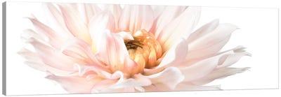 Blush Pink Dahlia II Canvas Art Print