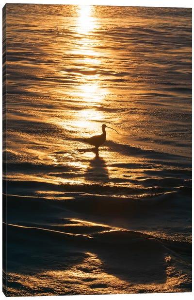 Sandpiper In Ocean, California Canvas Art Print