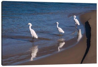 Egrets, Breakwater, Santa Barbara, California Canvas Art Print