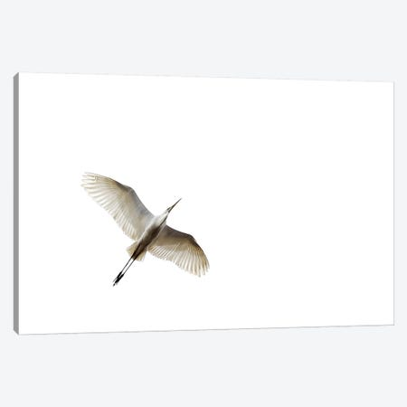 Egret In Flight Canvas Print #ZOL59} by Zoltan Toth Canvas Art Print
