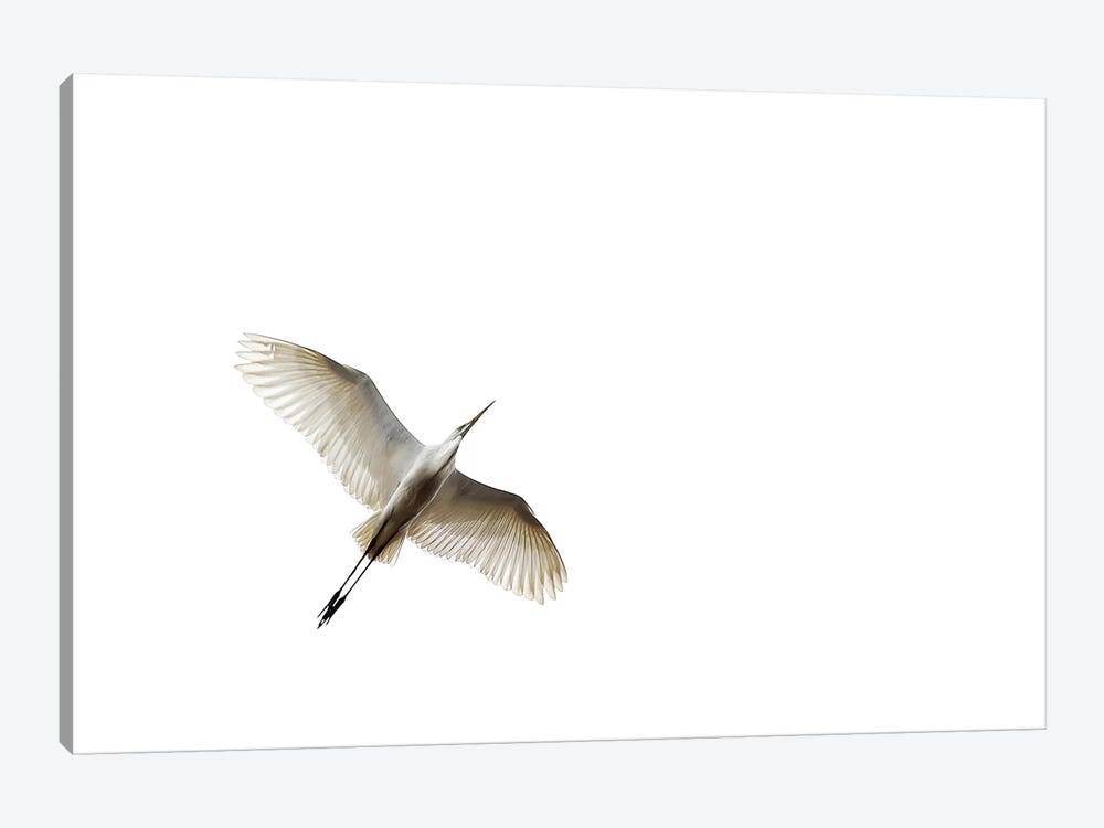 Egret In Flight by Zoltan Toth 1-piece Canvas Print